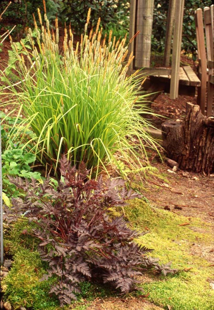 Plant photo of: Carex elata 'Bowles Golden'