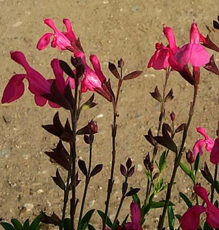 Plant photo of: Salvia greggii 'Red Star'