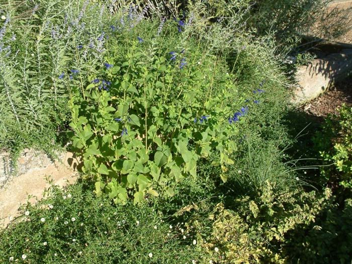 Plant photo of: Salvia guaranitica
