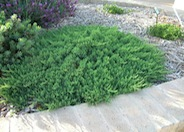 Juniperus rigida conferta 'Blue Pacific'