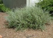 Azure Bush Germander