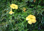 Yellow Trumpet Vine, Cat's Claw