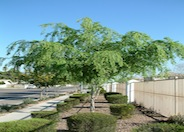 Chinese Elm, Chinese Evergreen Elm